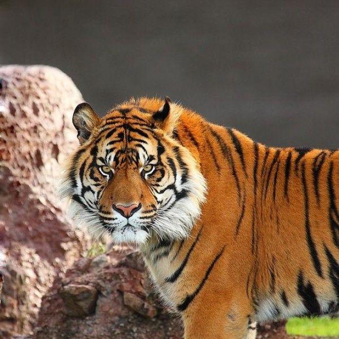 только фотографии символы в японии тигра пантеры и льва более развернуто раскрыть