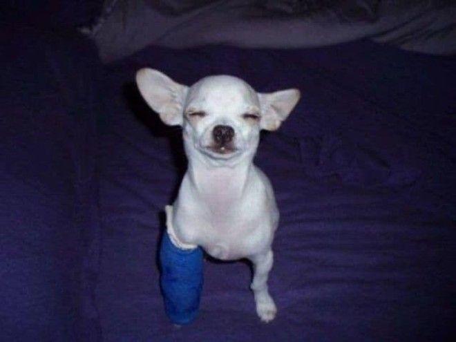 Этот храбрый парень не даст какомуто гипсу испортить себе настроение ветеринария животные помощь животным