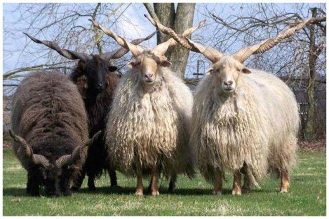 Порода овец Рацка отличаются своими винтообразными рогами длиной около 7080 см интересное красота природа рога флора