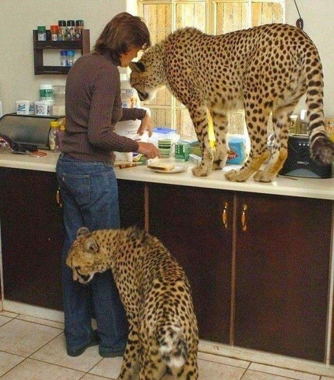 Кошки всегда остаются кошками не зависимо от размера домашние животные необычные питомцы питомцы прикол