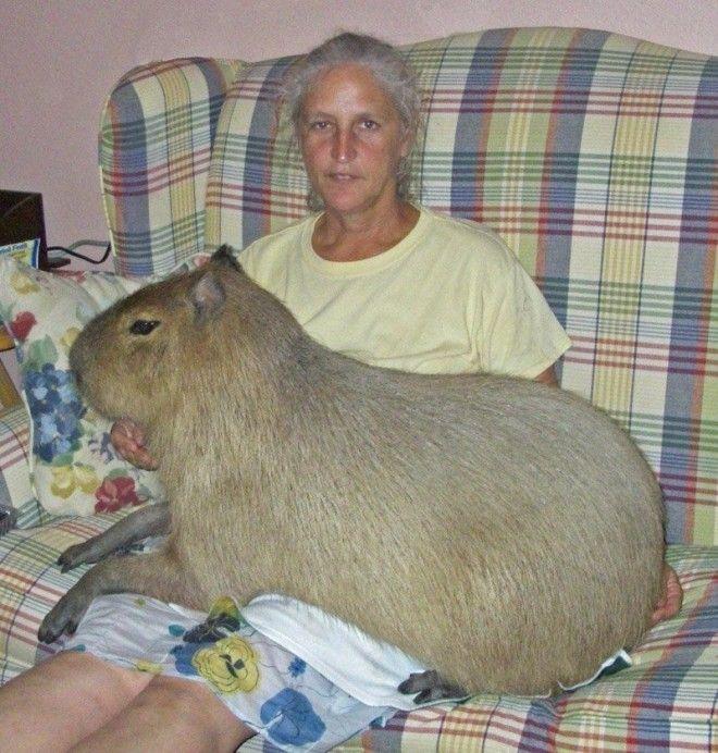 Когда обычных домашних животных становится уже мало домашние животные необычные питомцы питомцы прикол