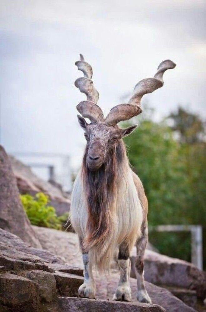 Винторогий козел мархур У самцов рога достигают 15 м и более интересное красота природа рога флора