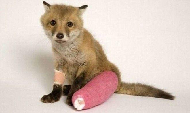 И даже лисам ветеринария животные помощь животным