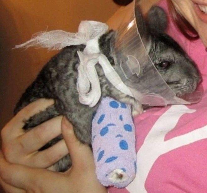 Похоже на шиншиллу Вот бедняга ветеринария животные помощь животным