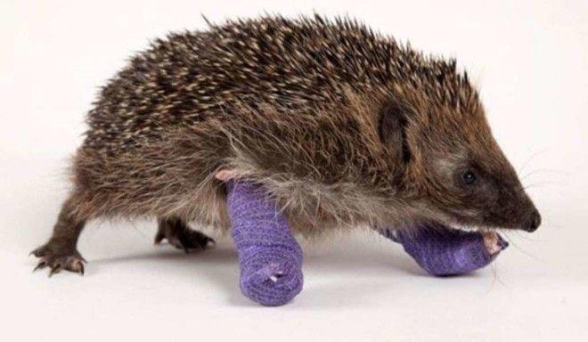 Вот еще один колючий герой ветеринария животные помощь животным
