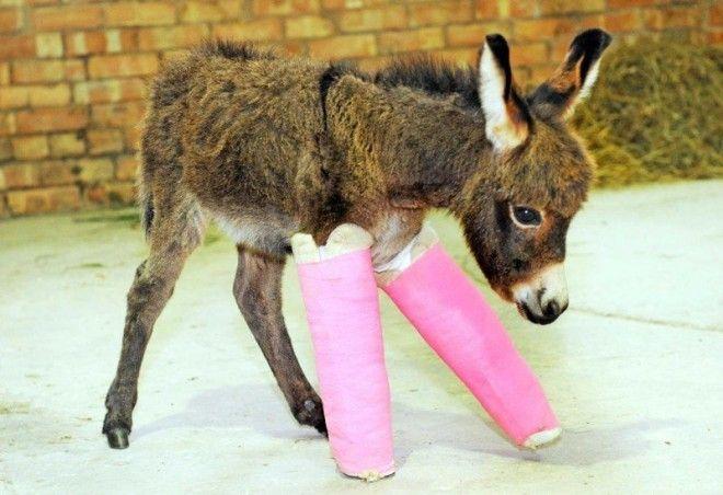 Маленький ослик родился недоношенным и ему пришлось наложить шины на ножки чтобы их выровнять и укрепить ветеринария животные помощь животным