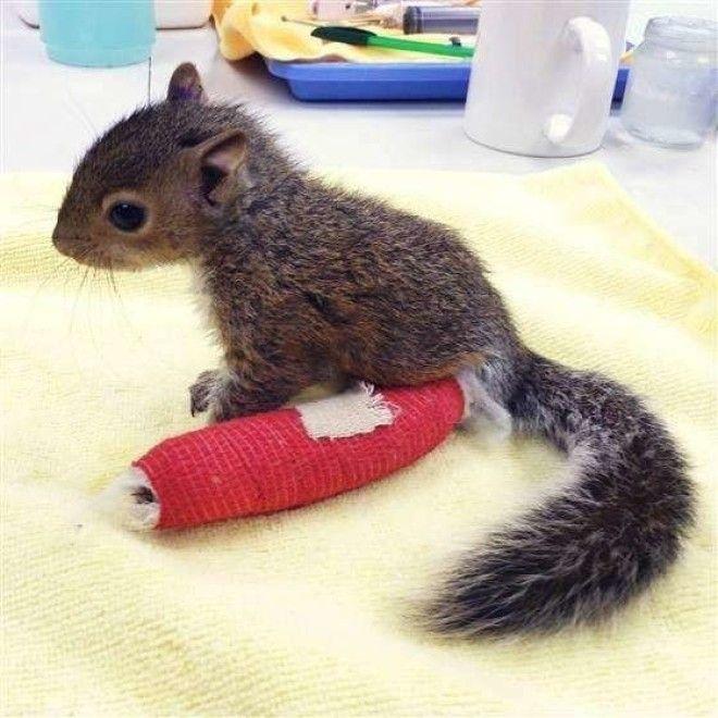 Бельчонок упал с дерева но люди о нем позаботились ветеринария животные помощь животным