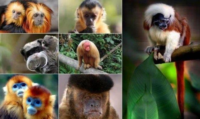 В Бразилии 77 видов обезьян но увидеть их можно только в зоопарках