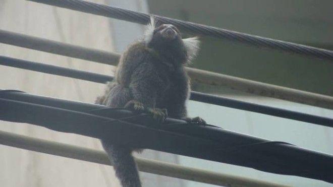 Увидеть обезьяну в городе большая удача