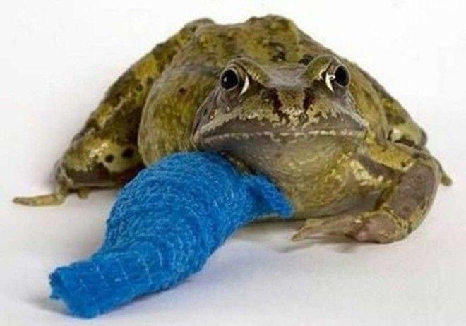 Жаба поранила лапку ветеринария животные помощь животным
