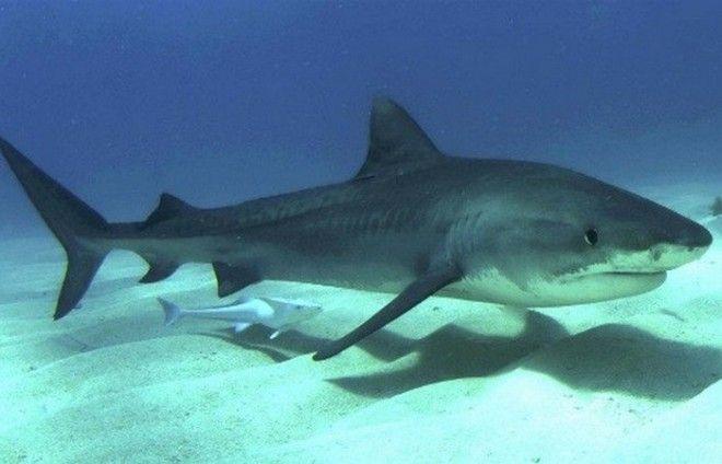Преувеличенная опасность: акулы.