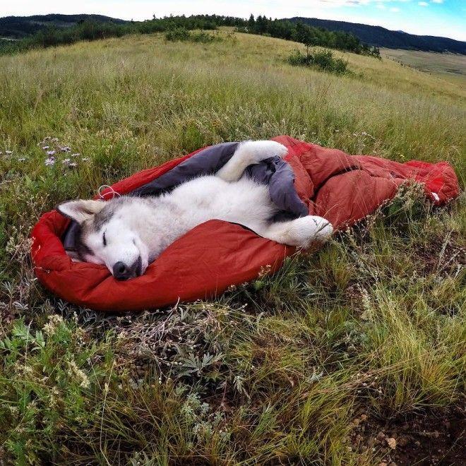 Хаски Локи спит в спальном мешке