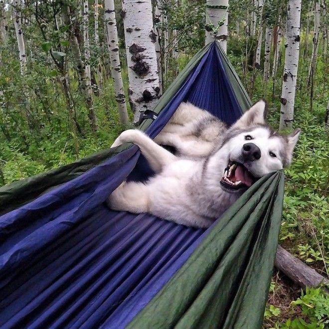 Пес спит в гамаке