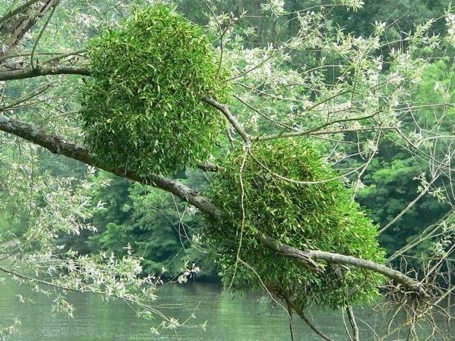 Омела растениепаразит