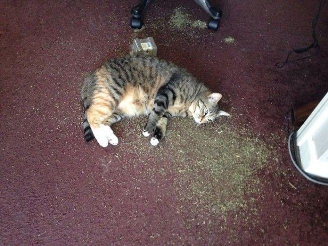 Передозировка кошачьей мятой дом животные проступок шалость