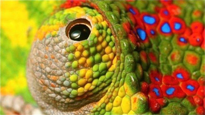 Любопытные факты о хамелеонах