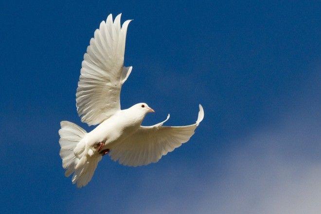 Картинки по запросу doves