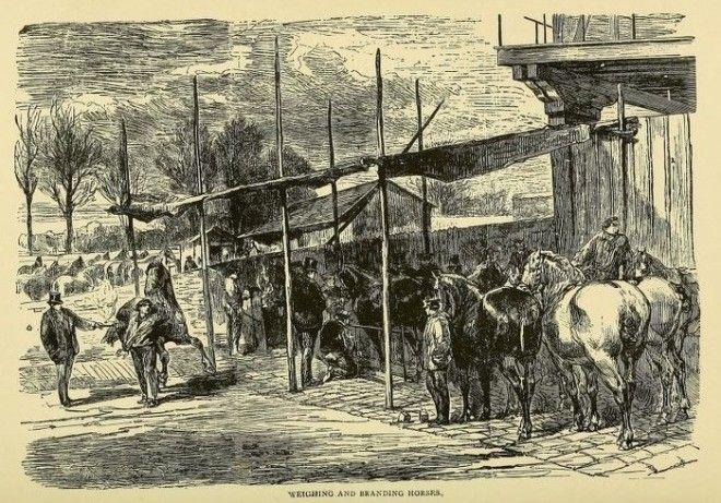 Взвешивание и отбор лошадей Фото archiveorg