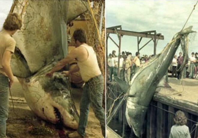 Вес акулы неизвестен В 1983 году в сети рыбака Дэвида Маккендрика в районе острова Принца Эдуарда попалась большая белая акула В сети угодила самка длиной 61 метр Акула вошла в топ самых крупных акул которые были измерены специалистами Центра по исследованию акул Канады