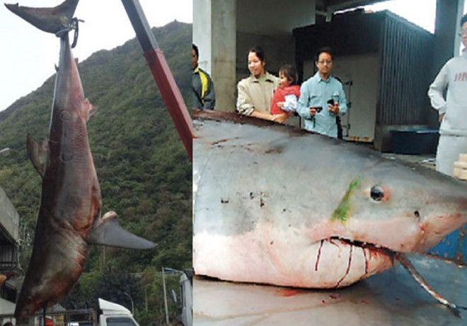 Вес акулы 1750 кг Усилиями 10 рыбаков в 2012 году в Тайване была поймана большая белая акула весом 1750 кг и длиной 6 метров Обитатель подводных глубин оказался настолько тяжелым что рыбаки затаскивали его на борт судна целый час