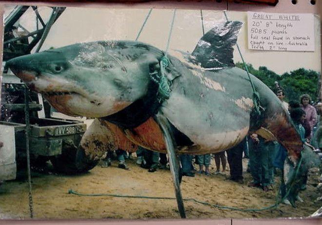 Вес акулы 2306 кг В 1970 году у острова Филлипа была поймана самая большая по весу акула в истории Вес акулы длиной 62 метра составил 2306 кг Хотя это считается абсолютным рекордом многие ставят его под сомнение поскольку перед тем как акула была поймана она успела плотно подкрепиться тюленем остатки которого были найдены в ее желудке
