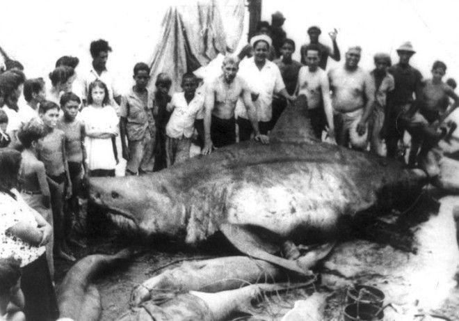 Вес акулы неизвестен В 1945 году во время плановой рыбалки в Мексиканском заливе 6 рыбаков случайно поймали самую опасную для человека разновидность акул белую акулу Длина кархародона составила 64 метра В честь деревушки откуда они были родом трофей рыбаки назвали монстр из Коджимар