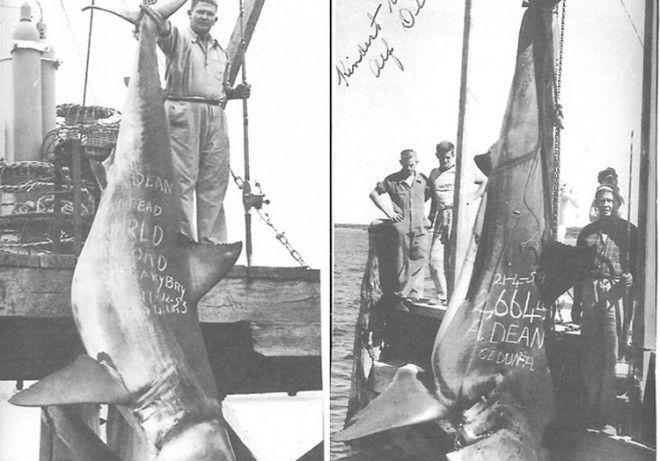 Вес акулы 1208 кг Одной из крупнейших пойманных акул зарегистрированных Международной ассоциацией агентств рыбы и дичи стала акула пойманная Альфом Дином На побережье австралийского Сидуна в 1959 году рыбак выловил 5метровую акулу весом 1208 кг