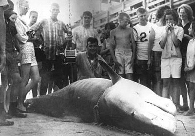 Вес акулы 807 кг Вальтер Максвелл вписал свое имя в историю как рыбак которому посчастливилось поймать одну из самых больших тигровых акул У МиртлБич Южная Каролина в 1964 году его добычей стала 807килограммовая тигровая акула Его рекорд никто не мог превзойти на протяжении 40 лет