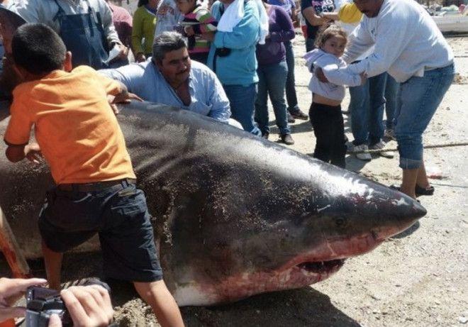 Вес акулы 907 кг В 2012 году после очередной рыбалки мексиканский рыбак вернулся местным героем Его основным уловом за которым он отправился в море Кортеса стала 907килограммовая большая белая акула Длина акулы составила 6 метров