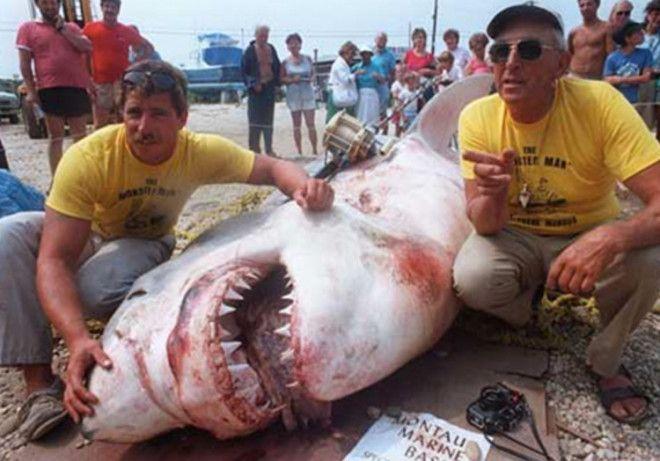 Вес акулы 2041 кг Чтобы поймать большую белую акулу в 1964 году в числе прочего Фрэнку Мандусу потребовалось пять гарпунов После 5 часов противостояния акула все же сдалась Вес добычи составил 2041 кг