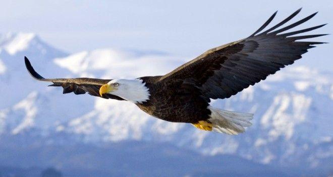 Картинки по запросу орел в полете