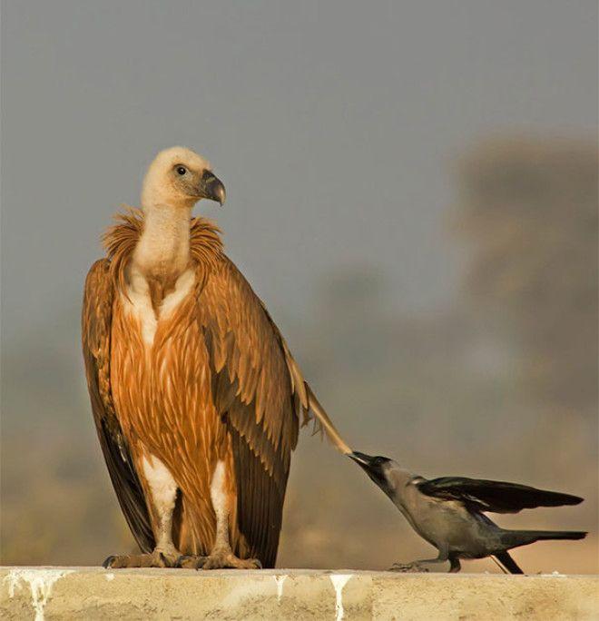 B20 доказательств того что вороны самые наглые птицы на свете