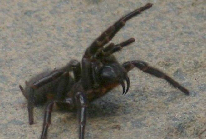 Cиднейский лейкопаутинный паук