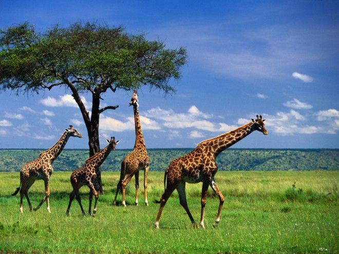 S15 малоизвестных фактов о жирафах
