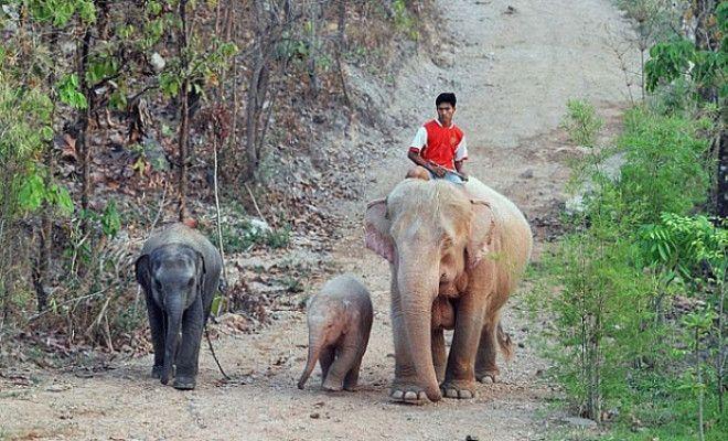 SРозовые слоны существуют