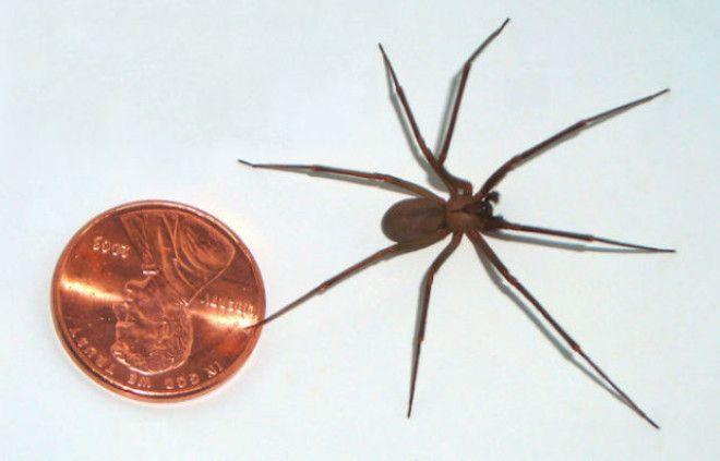 Коричневый паукотшельник