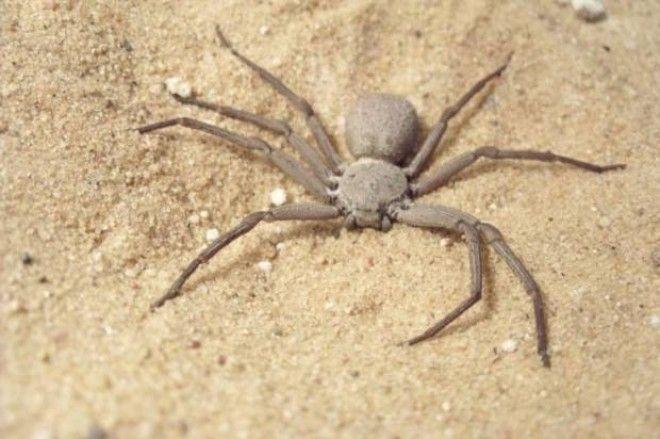 Картинки по запросу Шестиглазый песочный паук