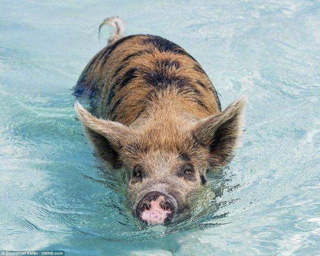 Остров свиней на Багамах