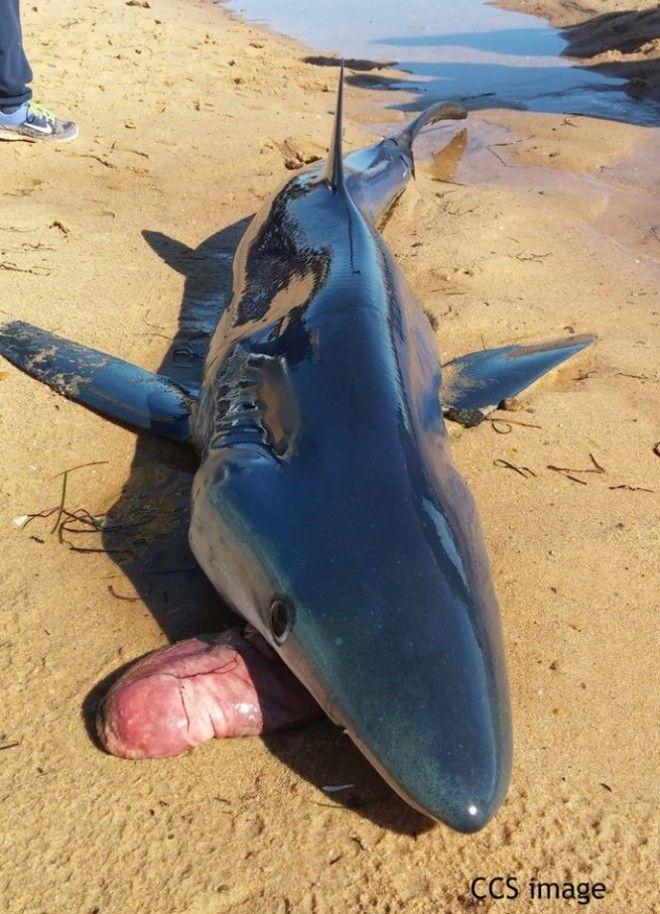 SПочему акулы выплевывают свой желудок Ответ вас поразит