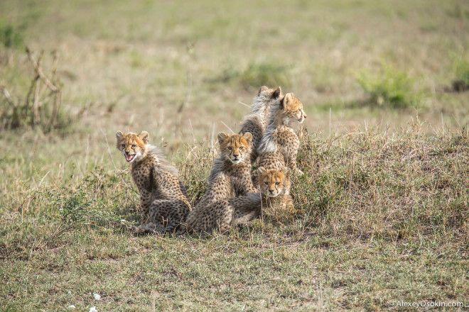 Беззащитные детеныши грозных хищников