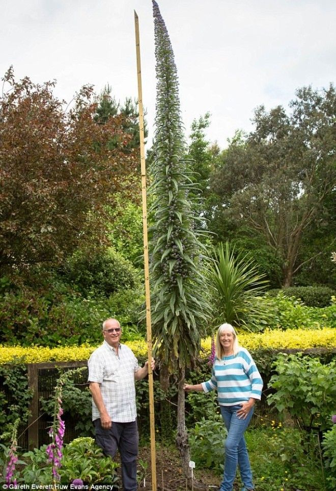 Эхиум удивительный сорняк