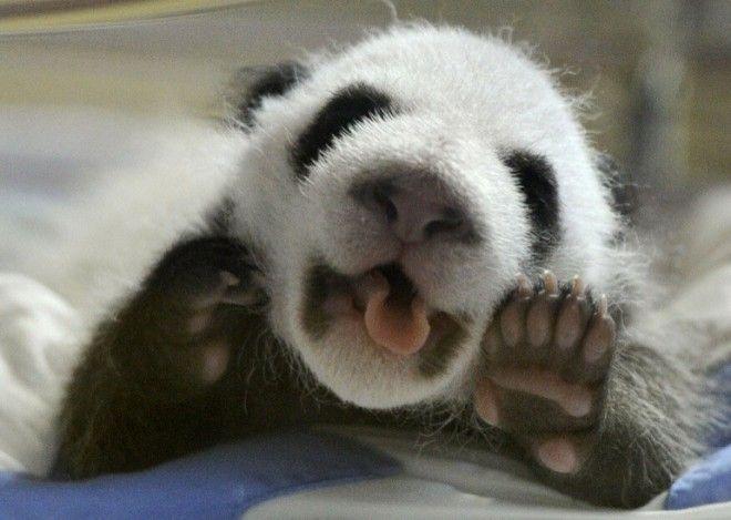 Миру остро не хватает панд Пушистики способные растрогать кого угодно
