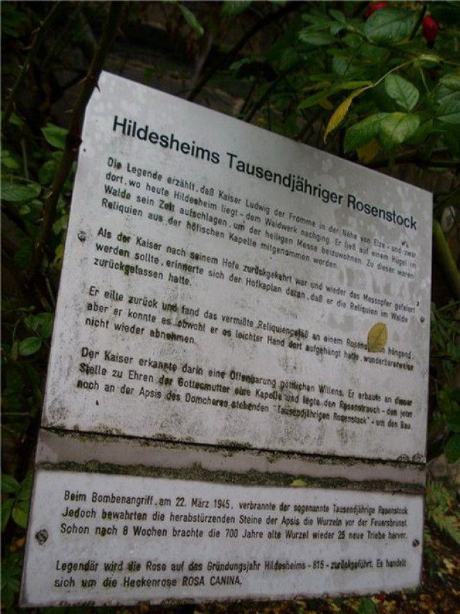 Тысячелетняя роза Хильдесхайма удивительное чудо природы