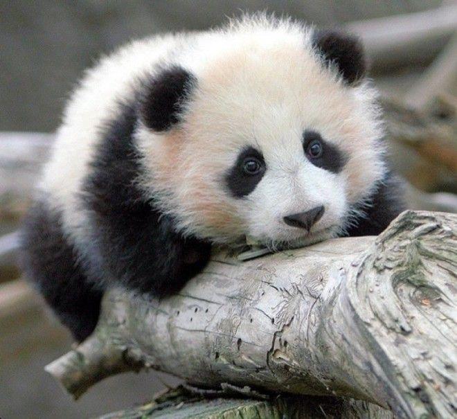 SМиру остро не хватает панд Пушистики способные растрогать кого угодно
