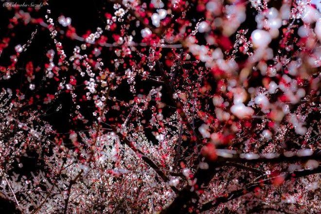 yaponskaya vesna foto 10