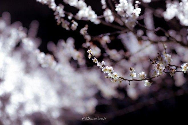 yaponskaya vesna foto 9
