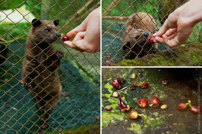 Циветта поедает кофейные ягоды