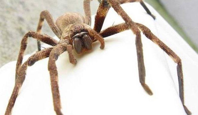 Картинки по запросу крабовый паук