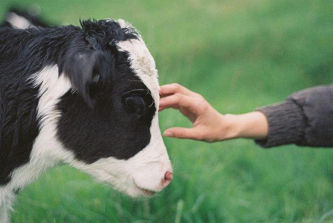 Картинки по запросу cow
