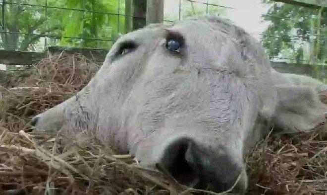 Шокирующие случаи появления на свет двухголовых животных